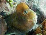 Морская собачка павлин - самец - Salaria pavo