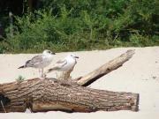 Албенские чайки
