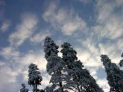 Елки и небо в Банско