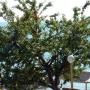 Абрикос на пляже