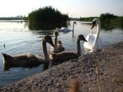 Лебединное семейство