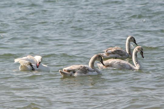 Лебеди в Анапе. Весна.