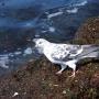 Анапский голубь