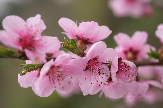 Персик цветет