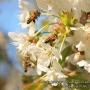Пчелы и черешня
