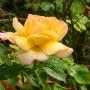 Роза. После дождя.