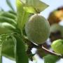 Зеленый персик