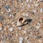 Ракушка рапана на пляже в Благовещенской