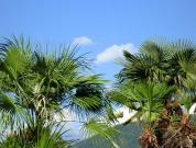 Пальмы в Лазаресвком