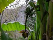 Бананы в Сочи