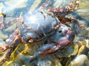 Крабик в Черном море Анапы
