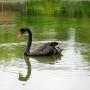 Черный лебедь, Дендрарий