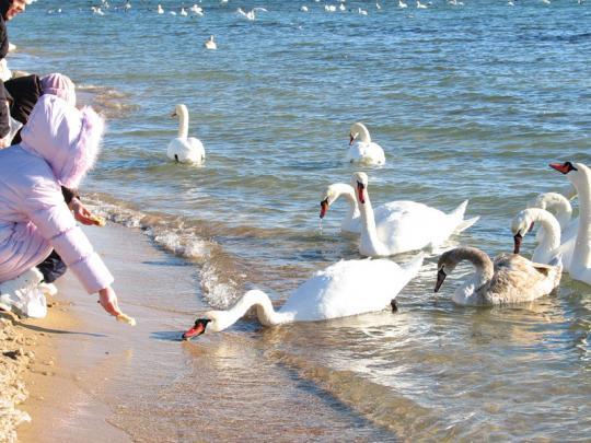 Лебеди прилетели
