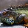 Залетный ящер
