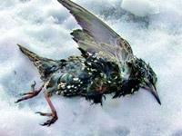 Румынские ученые выяснили причину массовой гибели птиц